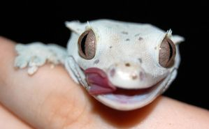 Crested Gecko by Brouk