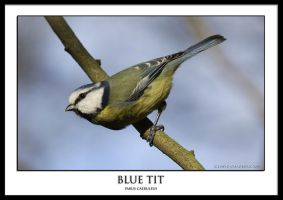 Blue Tit.1 by THEDOC4