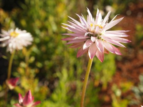Pink and White by BedouinPrince