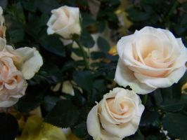 Tiny White Roses 2 by theNanna