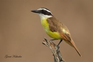 Great Kiskadee by Jamie-MacArthur