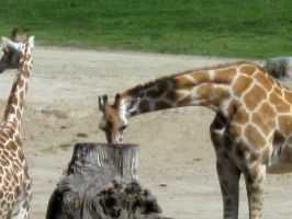 Giraffe 12 by my-dog-corky