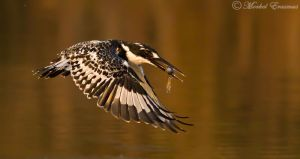 Pied Kingfisher on Golden Pond by MorkelErasmus