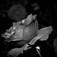 Black and White Rose by IsACoolGuy