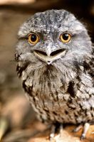 Tawny Frogmouth by Kkythaamy