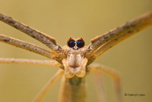 Net Casting Spider by melvynyeo