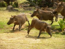 Running boars by RiverKpocc