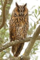 Watchful eyes - long eared owl by Jamie-MacArthur