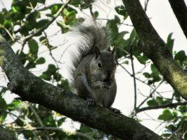 Squirrel in tree 1 by WisteriasWeb