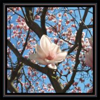 Magnificent Magnolia by MuseSusan