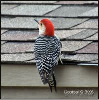 Red Bellied woodpecker by Gooiool