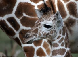 new born giraffe by Yair-Leibovich