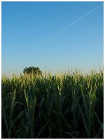 Corn Field by Fox82