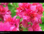 Bougainvillea by Seyan