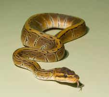 Pinstripe royal python -stock by AngiWallace