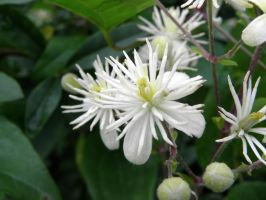 white blossoms by Mittelfranke