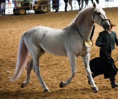 STOCK - 2014 Andalusian Nationals-124 by fillyrox
