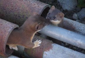 Young weasels at play 07-05-13-040 by SkyfireDragon