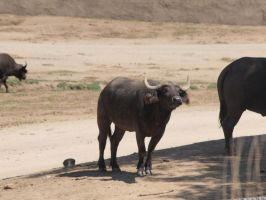 Cape Buffalo by photographyflower