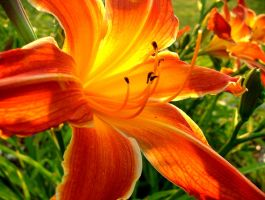 Fire Lilly by imokurnot