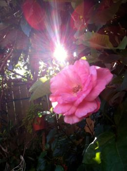 Sunlight behind a Pink Rose by LoadingArtist
