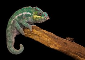 Panther chameleon 2 by SnowPoring