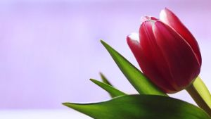 Single Tulip by skdennard