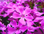Mountain Phlox 3 by theblindalley