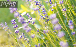 Lavender. by dAiheart