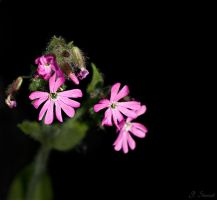Pink thistled flower by FlippinPhil
