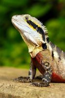 Australian Water Dragon by troypiggo