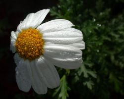 Nature I - Daisy Shower by pixeldiva