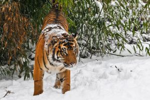 Little Tiger on Snow by amrodel