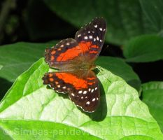 Anartia amathea butterfly by Simbas-pal