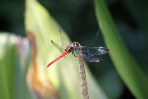 Dragonfly 2 by firenze-design
