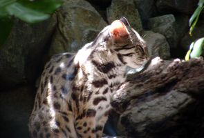 Animals - Leopard Cat 1 by MoonsongStock