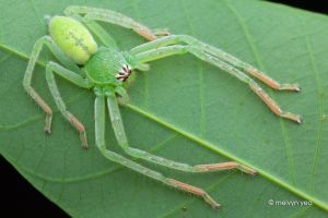 Green Huntsman, Gnathopalystes sp. by melvynyeo