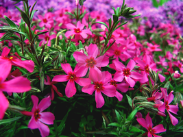 Mountain Phlox 2 by theblindalley