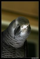 African Gray Parrot by IvanAntolic
