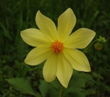 yellow flower by Tumana-stock