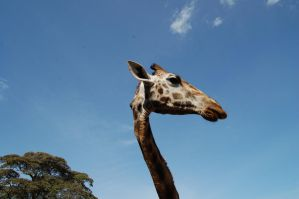Long Neck by Sand-Dollar