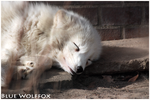 Sleeping Polarfox by VitaniFox85