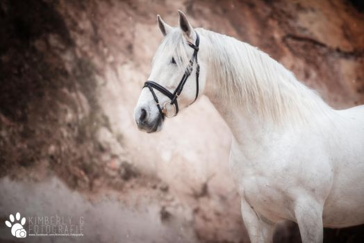 Andalusian Gelding. by KimGaul