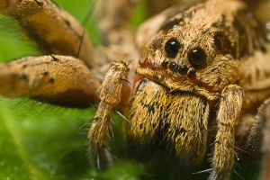 Wolf Spider at 3x by dalantech