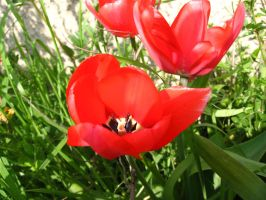 red tulips in my garden by dakki000