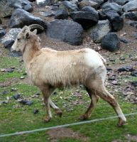 Pocatello Zoo 42 Goat by Falln-Stock
