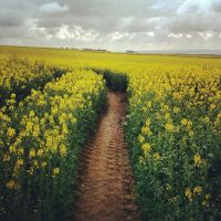 Fields of yellow by Icewiing