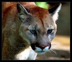 Puma by Sonny2005