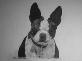 Boston Terrier by breasiebaby