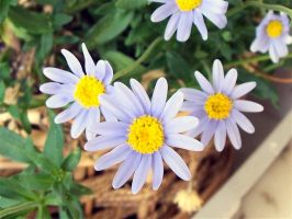 Little Daisies? by MikeHungerford